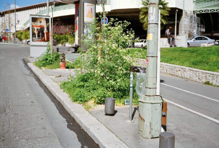 Centre-ville, gare Saint-Charles. Massif de grandes ciguës (Conium) sur un pied d'arbre, place des Marseillaises.