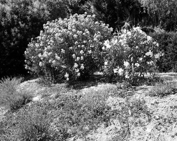 Sylvain Maestraggi | Autour d'Aix-en-Provence | 2012-2020 | Lauriers-roses, été 2015