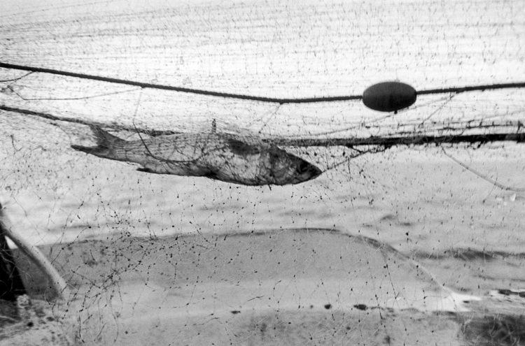 Franck Pourcel | La petite mer des oubliés – Gestes du travail | 1996-2006 | Gestes du travail | Photographie en N/B d'un poisson (loup) pris dans un filet de pêche