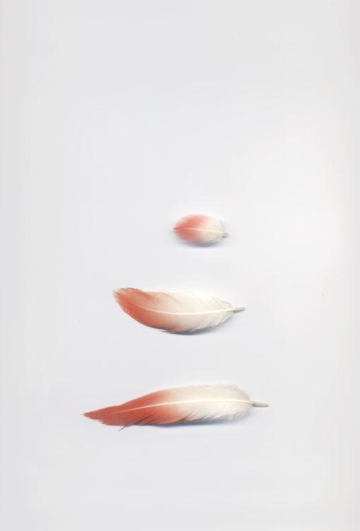 Suzanne Hetzel   7 saisons en Camargue   2013-2016   Ailes /plumes de flamant rose